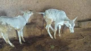 Beautiful Calves Of Gaviappa In Kuppa Siddaiahannadoddi, Jijani Hobli, Anekal Taluk