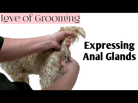 how-to-express-anal-glands