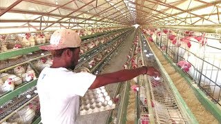 Production Oeufs  Opportunité en HAITI - FRANCAIS