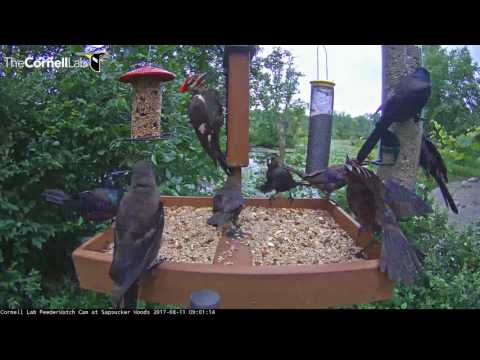 Pileated Woodpecker Fends Off Grackles At Cornell Feeders – August 11, 2017