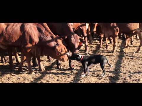 Mundabullangana - (Cattle Station Under Threat)