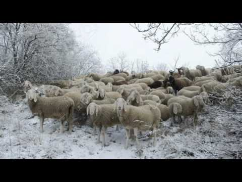 Myth: Too Cold For Shepherds To Tend Flocks In December: