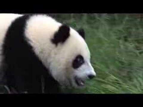 WNT Visit Pandas in China