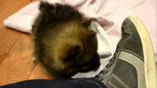 Gambar cover Fur and Paws - Purebred Pomeranians Mocha and Latte