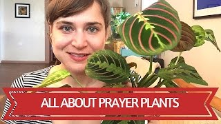 All About Prayer Plants(Hello! This video is all about Maranta and Calathea. I talk about my experience with them, facts, and general care. Enjoy and please share and tips or tricks of ..., 2016-07-16T03:08:37.000Z)