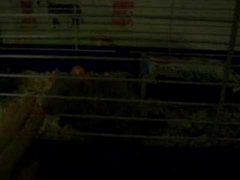 Rat Aggression 4