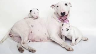Бультерьер (Bull Terrier) - породы собак