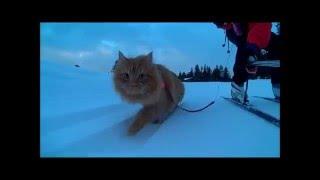 На лыжах с котом Jesper the cat tows skier