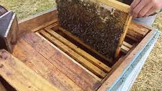Подсадка маток Бакфаст в пчелосемью . Убираем свищевые маточники . thumbnail