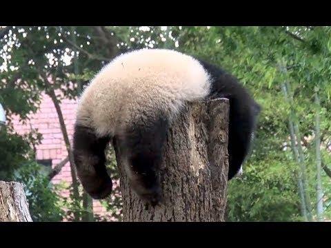 シャンシャン、枝を「ゆさゆさ」=ジャイアントパンダ(315日齢)の映像