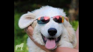 Пиренейская Горная Собака,  лучший щенок