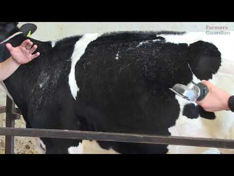 How To Prepare A Calf For The Showring
