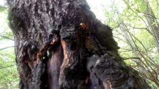 クワガタがいつもいる木にいつもオオスズメバチがいます 気をつけてGET!!