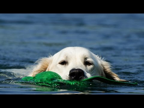10 Funny Reasons To Adopt A Golden Retriever