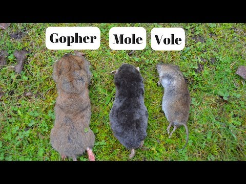 How To Identify If You Have Gophers, Moles, Or Voles Digging Up Your Yard.