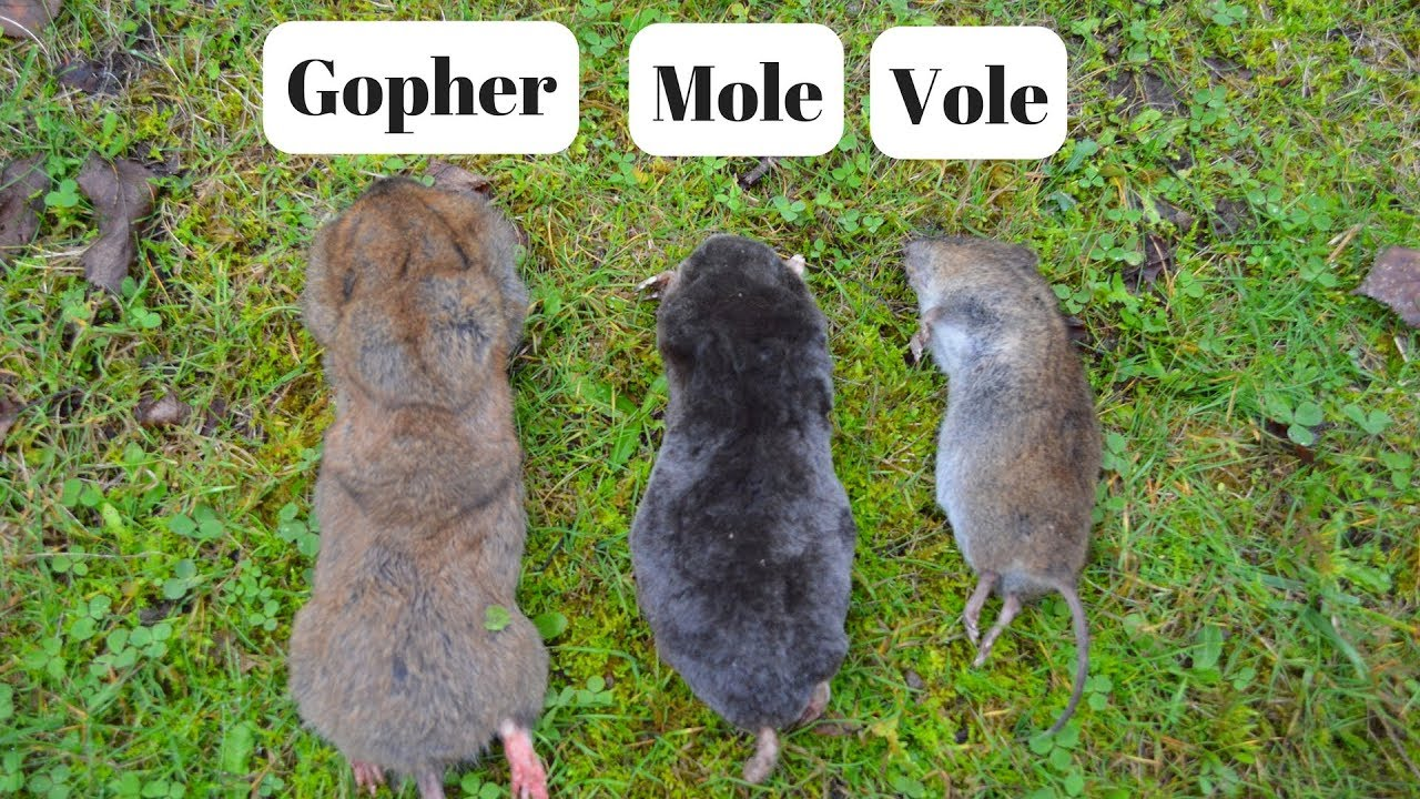 How To Identify If You Have Gophers Moles Or Voles Digging Up Your Yard