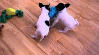 Gambar cover D-litter of Toy Fox Terrier, 1 mon.old
