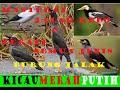 Masteran Jalak Kebo Terapi Semua Tipe Jenis Burung Jalak  Mp3 - Mp4 Download