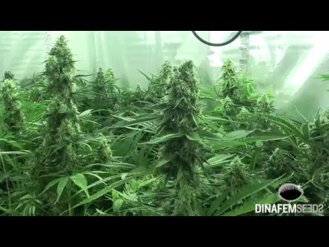 New Industrial CBD Autoflowering marijuana strain by Dinafem Seeds