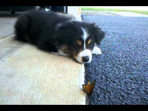 Oliver (the australian shepherd puppy) vs the Butterfly (1 of 2)