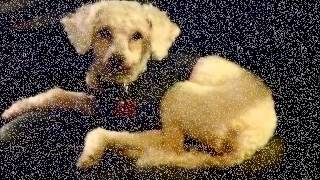 Miniature-poodle-5yr-spayed-female-aria-movie-1-24-13.wmv