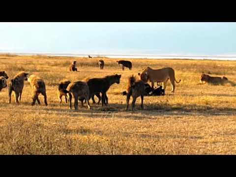 Two Lioness Killed Wildebeest - Ngorongoro Conservation Area