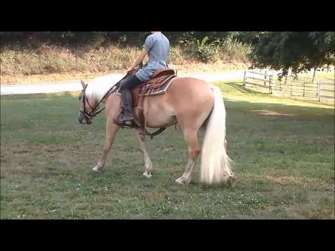 5 year old Haflinger mare, Candy being ridden- Horse for sale