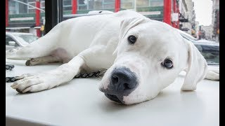 LIVE: Adoptable Great Dane Mix Looks For Forever Home | The Dodo
