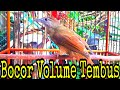 Kapas Tembak Gacor Bocor Volume Tembus  Mp3 - Mp4 Download