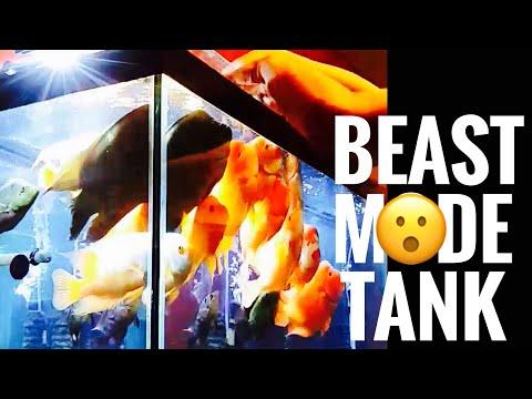 Red Devil Cichlid Feeding - Tank Monsters