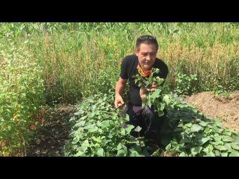 Das Blattwerk der Süßkartoffel - eine Alternative zum Spinat?