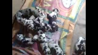 Show Quality Harley Great Dane Puppies  For Sale India