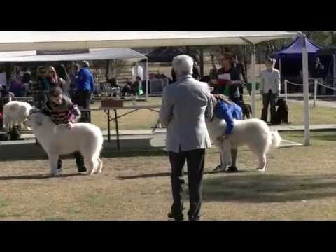 Pyrenean Mountain Dog Judging at the Junior Kennel Club of NSW 03 08 2014