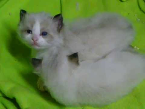 3.5 week old Ragdoll kittens starting to play