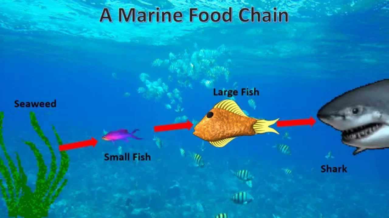 Animated Marine Food Chain (made in PowerPoint) - YouTube