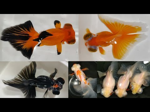 Most Uncommon Gold Fish Telescope Butterfly Gold Fish
