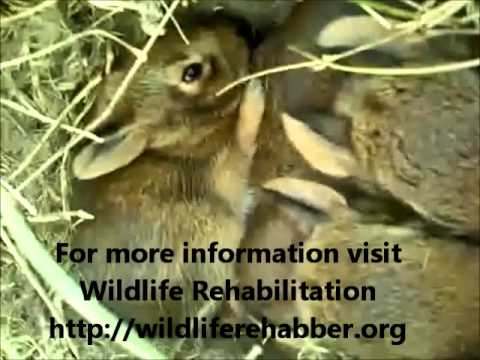 Taking Care Of Wild Baby Rabbits
