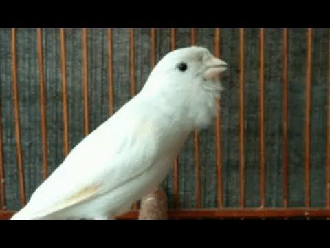 Burung kenari lokal putih gacor full 1