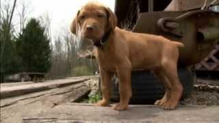 Eight Vizsla Puppies - Part Two