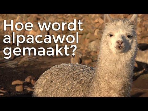 Hoe wordt alpacawol gemaakt?   Het Klokhuis