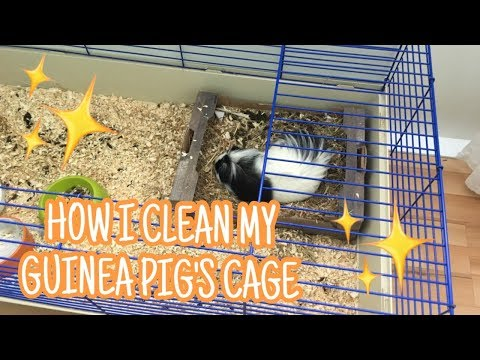How I Clean out my Guinea Pig's Cage | Petelixon