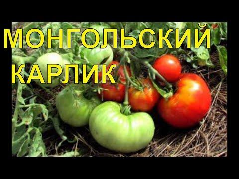 Томаты/Сорт Монгольский Карлик/Обзор и советы по выращиванию