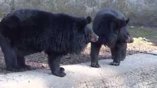 Niedźwiedź himalajski / Asian black bear | DinoAnimals.pl
