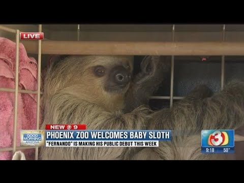 Meet Fernando the Phoenix Zoo's new sloth