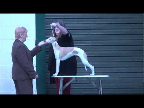 Manchester Dog Show Whippet Judging Part 1 of 4