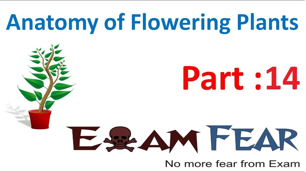 Biology Anatomy Of Flowering Plants Part 14 Vascular Tissue System