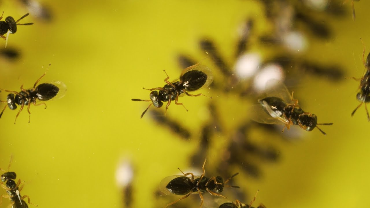 A Tiny Wasp With A Big Evolutionary Secret To Tell Youtube