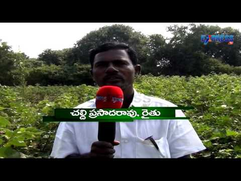 Successful mixed,intercrops farming by Prasad Rao Khammam district - Express TV