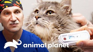 Dr. Jeff busca un hogar para gatito con SIDA | Dr. Jeff, Veterinario | Animal Planet
