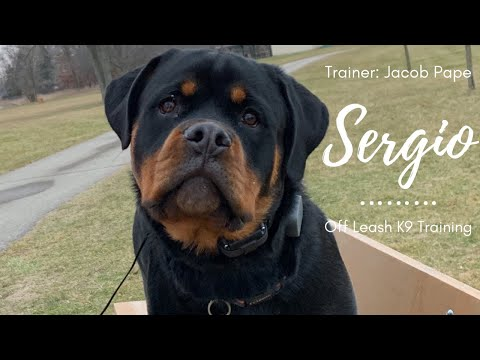 "Rottweiler l ""Sergio"" l Amazing Obedience l Off Leash K9 Training"